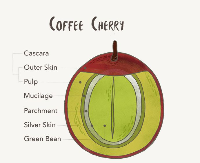 coffee-cherry--1-